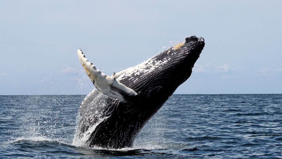 winter in cabo, Cabo whale watching, los cabos agent, nick fong